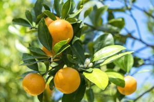 Florida, Detail of Orange Tree by Lisa S. Engelbrecht