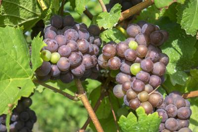 Grapes on vine, Anyela's Vineyard, Skaneateles, New York, USA by Lisa S. Engelbrecht