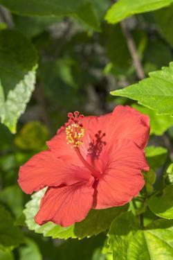 Hibiscus, New Smyrna Beach, Florida, Usa by Lisa S. Engelbrecht
