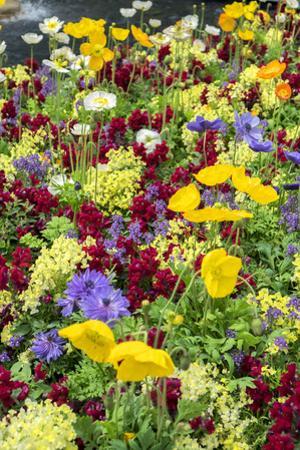 Iceland Poppy in a garden, Kennett Square, Pennsylvania, USA by Lisa S. Engelbrecht