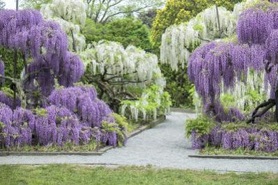 Japanese Wisteria, Kennett Square, Pennsylvania, USA by Lisa S. Engelbrecht