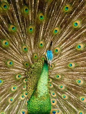 Peacock Displaying Feathers by Lisa S. Engelbrecht