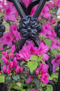 Pink Azalea, wrought iron fence, Charleston, South Carolina, Usa by Lisa S. Engelbrecht