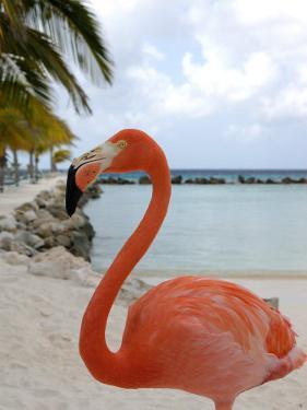 Pink Flamingo on Renaissance Island, Aruba, Caribbean by Lisa S. Engelbrecht