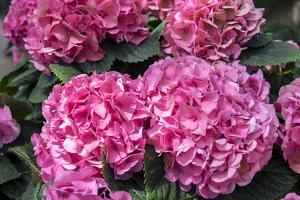 Pink Hydrangea, USA by Lisa S. Engelbrecht