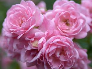 Pink Landscape Roses, Jackson, New Hampshire, USA by Lisa S. Engelbrecht