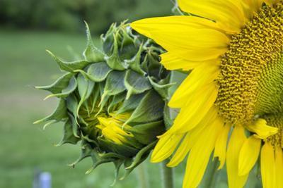 Sunflower, Vermont, USA by Lisa S. Engelbrecht