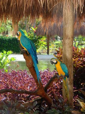 Two Blue and Gold Macaws Perched Under Thatched Roof by Lisa S. Engelbrecht