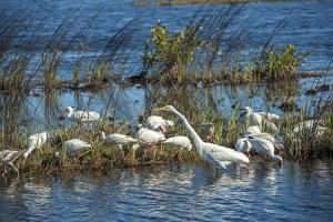 USA, Florida, Merritt Island, NWR, White Ibis and Great Egret. by Lisa S. Engelbrecht