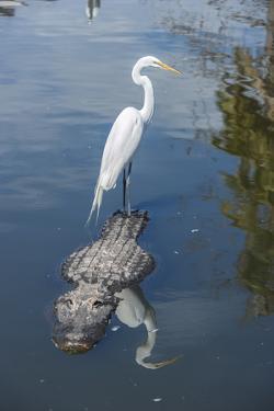 USA, Florida, Orlando, Egret Riding on Alligator, Gatorland by Lisa S^ Engelbrecht