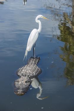 USA, Florida, Orlando, Egret Riding on Alligator, Gatorland by Lisa S. Engelbrecht