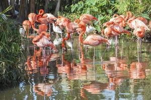 USA, Florida, Orlando. Flamingoes and White Ibis at Gatorland. by Lisa S. Engelbrecht