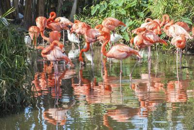USA, Florida, Orlando. Flamingoes and White Ibis at Gatorland.