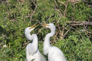 USA, Florida, Orlando. Gatorland, Great Egrets. by Lisa S. Engelbrecht