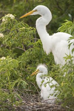 USA, Florida, Orlando. Great Egret and baby egret at Gatorland. by Lisa S. Engelbrecht