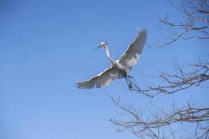 USA, Florida, Orlando. Great Egret at Gatorland. by Lisa S. Engelbrecht