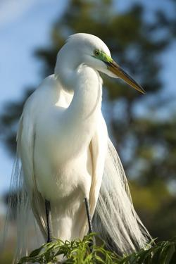 USA, Florida, Orlando, Great Egret, Gatorland by Lisa S. Engelbrecht