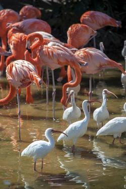 USA, Florida, Orlando, Pink Flamingos and White Ibis, Gatorland by Lisa S. Engelbrecht