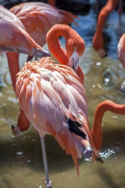 USA, Florida, Orlando. Pink Flamingos at Gatorland. by Lisa S. Engelbrecht