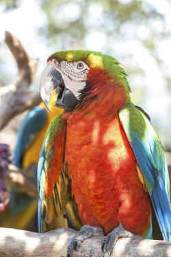 USA, Florida, Orlando, Scarlett Macaw, Gatorland by Lisa S. Engelbrecht