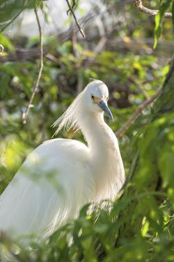 USA, Florida, Orlando, Snowy Egret, Gatorland by Lisa S. Engelbrecht