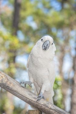 USA, Florida, Orlando, White Cockatoo, Gatorland by Lisa S. Engelbrecht