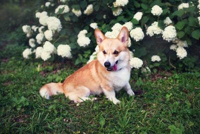 Corgi Cute Dog by lisa1305