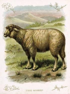 Lithograph of Sheep