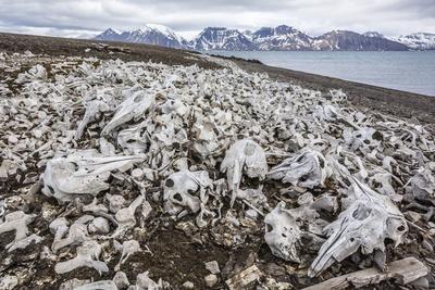 https://imgc.allpostersimages.com/img/posters/littered-beluga-bones-left-by-whalers-delphinapterus-leucas-at-ahlstrandhalvoya_u-L-PNGR1R0.jpg?p=0