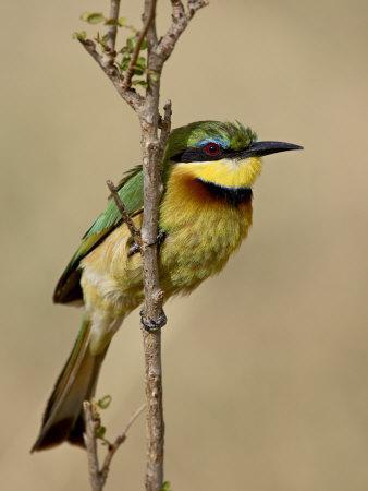 https://imgc.allpostersimages.com/img/posters/little-bee-eater-masai-mara-national-reserve-kenya-east-africa-africa_u-L-P7NOCG0.jpg?p=0