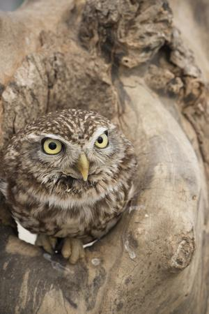 https://imgc.allpostersimages.com/img/posters/little-owl-athene-noctua-devon-england-united-kingdom_u-L-PWFS2C0.jpg?artPerspective=n