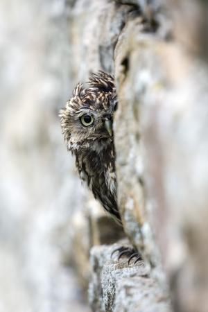 https://imgc.allpostersimages.com/img/posters/little-owl-athene-noctua-perched-in-stone-barn-captive-united-kingdom-europe_u-L-Q12SB5B0.jpg?artPerspective=n