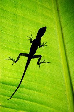 Lizard on Leaf, Sarapiqui, Costa Rica