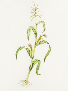 Maize (Zea Mays) by Lizzie Harper