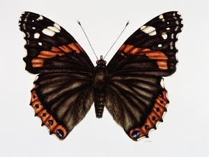 Red Admiral Butterfly by Lizzie Harper