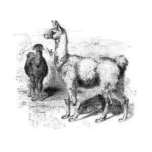 Llamas, C1880