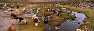 Llamas (Lama Glama) Grazing in the Field, Sacred Valley, Cusco Region, Peru, South America
