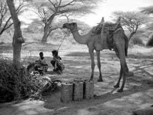 Local Men of Somaliland with Their Camels, 1935