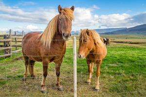 An adult and juvenile Icelandic horse in a field in rural Iceland, Polar Regions by Logan Brown
