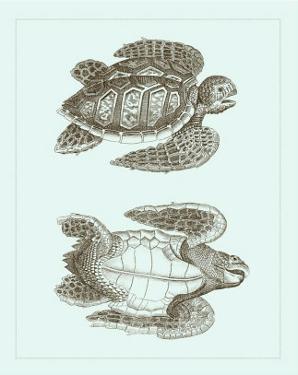Loggerhead Turtles I
