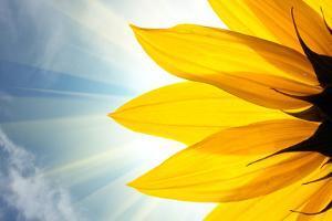 Sunflower by logoboom