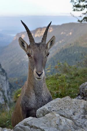 Alpine ibex female, Jura, Switzerland