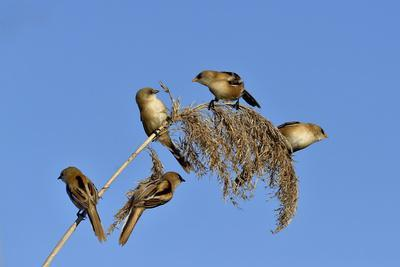 Bearded tit, five perched on Reed. Danube Delta, Romania, May