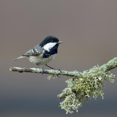 Coal tit (Periparus ater) on a branch with lichen, Vendee, France, December