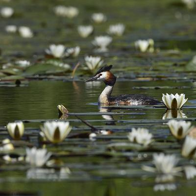 Great crested grebe amongst White water lilies, Danube Delta, Romania, May