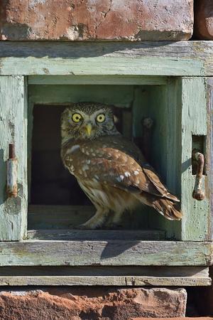 Little owl (Athene noctua) perched in wall. Danube Delta, Romania. May.