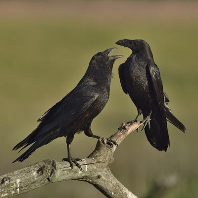 Northern raven (Corvus corax) pair perching on branch. Danube Delta, Romania, May