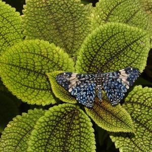 Red Cracker Butterfly (Hamadryas Amphinome) Captive Occurs in the Americas by Loic Poidevin