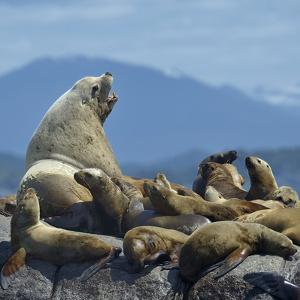 Steller Sea Lion (Eumetopias Jubatus) Male And Female With Colony, British Columbia, Canada, June by Loic Poidevin