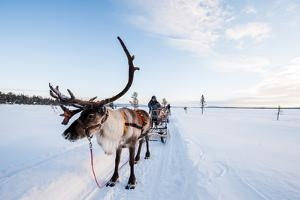 A Reindeer Puling a Sled in Swedish Lapland by Lola Akinmade Akerstrom